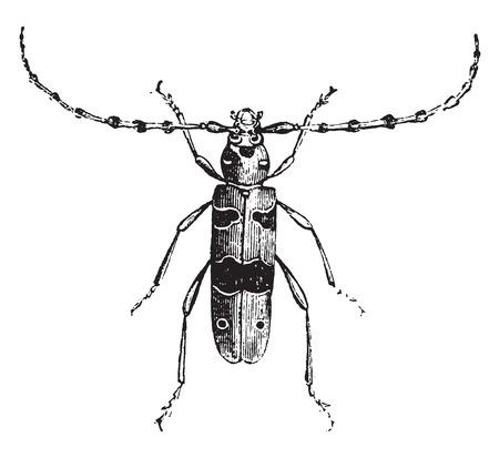 cerambycidae: Longhorn beetle Alpine, vintage engraved illustration. Natural History of Animals, 1880.