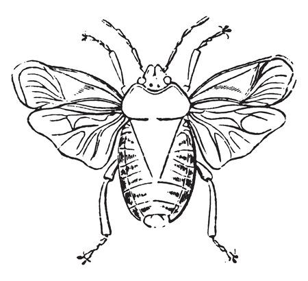 stink: Stink bugs, vintage engraved illustration. Natural History of Animals, 1880.