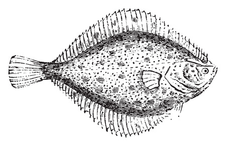 flounder: Flounder, vintage engraved illustration. Natural History of Animals, 1880. Illustration