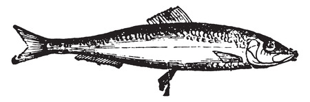 underwater fishes: Herring, vintage engraved illustration. Natural History of Animals, 1880.