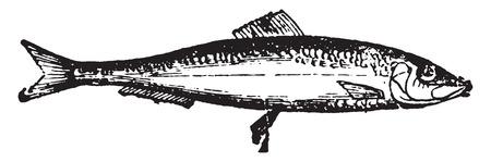 herring: Herring, vintage engraved illustration. Natural History of Animals, 1880.
