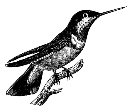 engrave: Hummingbird, vintage engraved illustration. Natural History of Animals, 1880.