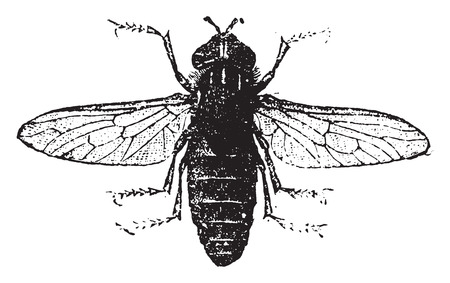Carpenter-bee, vintage engraved illustration. Natural History of Animals, 1880. Vectores