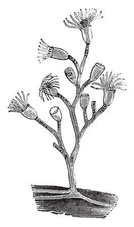 hydrozoa: Hydra, vintage engraved illustration. Natural History of Animals, 1880.