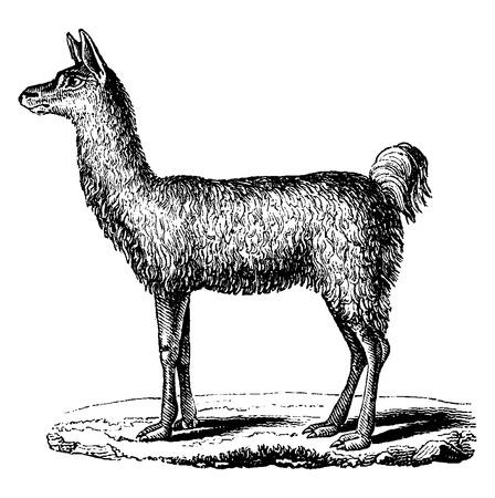 llama: Lama, vintage engraved illustration. Natural History of Animals, 1880.