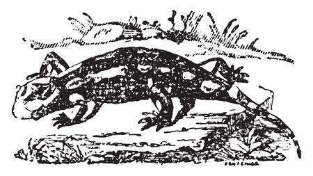 salamander: Terrestrial salamander, vintage engraved illustration. Natural History of Animals, 1880.