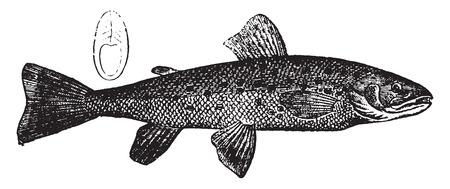 salmonidae: Trout, vintage engraved illustration. Natural History of Animals, 1880.