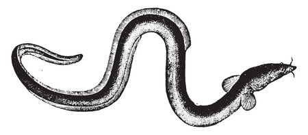 Eel, vintage engraved illustration. Natural History of Animals, 1880. Ilustração