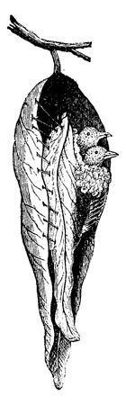 insectivorous: Warbler nest seamstress, vintage engraved illustration. Natural History of Animals, 1880.