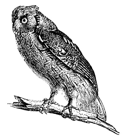 engraving: Owl, vintage engraved illustration. Natural History of Animals, 1880.