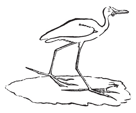 jacana: Jacana or Jesus birds or lily trotters, vintage engraved illustration. Natural History of Animals, 1880.
