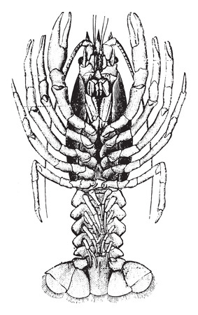 crustacea: Crayfish, vintage engraved illustration. Natural History of Animals, 1880. Illustration