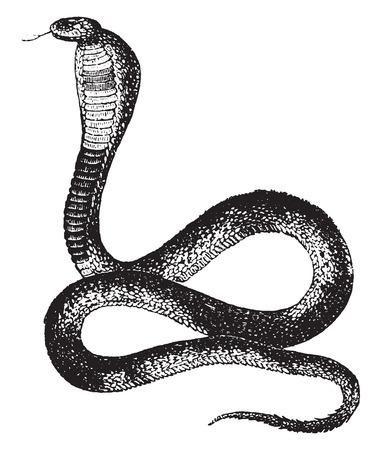 Naja 또는 코브라, 빈티지 새겨진 그림. 동물의 자연사, 1880. 일러스트