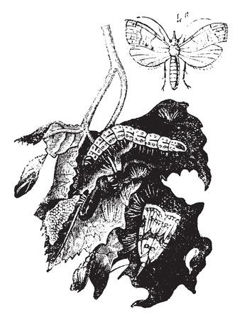 moth: Moth vine, vintage engraved illustration. Natural History of Animals, 1880. Illustration