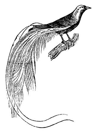 birds of paradise: Bird of paradise, vintage engraved illustration. Natural History of Animals, 1880.