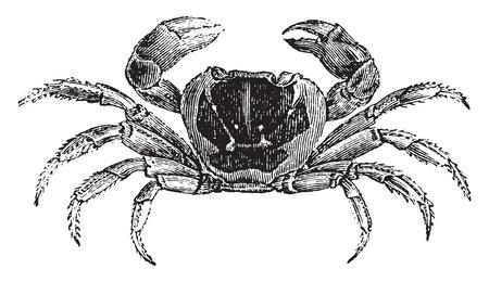 cangrejo: Gecarcinus o cangrejo de tierra, ilustración de la vendimia grabado. Historia Natural de los Animales, 1880.