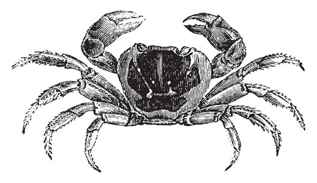 crabs: Gecarcinus or land crab, vintage engraved illustration. Natural History of Animals, 1880.