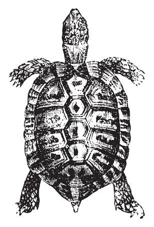 Greek tortoise or spur-thighed tortoise, vintage engraved illustration. Natural History of Animals, 1880.