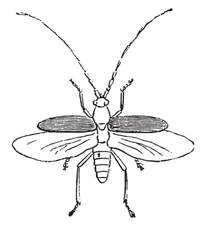 coleoptera: Beetle, vintage engraved illustration. Natural History of Animals, 1880.