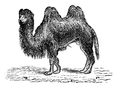 ラクダ、ヴィンテージには、図が刻まれています。1880、動物の自然史.  イラスト・ベクター素材