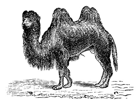 two animals: Camel, vintage engraved illustration. Natural History of Animals, 1880.