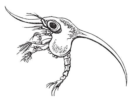 larvae: Larva of a Crab, vintage engraved illustration. Natural History of Animals, 1880.