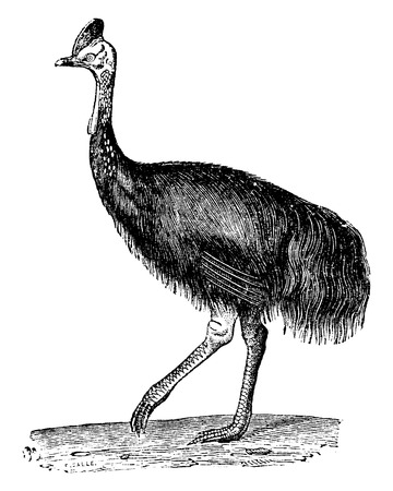 ratite: Southern cassowary or Double-wattled cassowary or Australian cassowary or two-wattled cassowary, vintage engraved illustration. Natural History of Animals, 1880.
