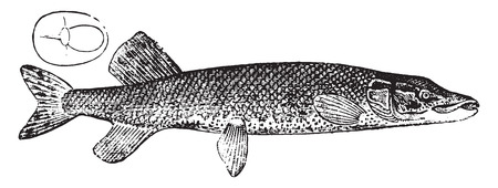 pike: Pike, vintage engraved illustration. Natural History of Animals, 1880.