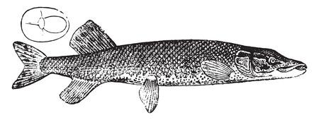 northern: Pike, vintage engraved illustration. Natural History of Animals, 1880.