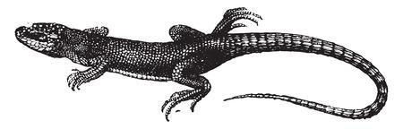 lagartija: Lagarto verde, ilustración de la vendimia grabado. Historia Natural de los Animales, 1880.