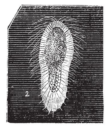larvae: Larva fibrous sponge, vintage engraved illustration. Natural History of Animals, 1880. Illustration