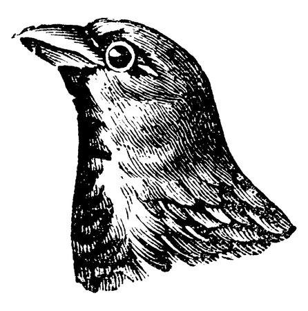 passerine: Sparrow, vintage engraved illustration. Natural History of Animals, 1880.