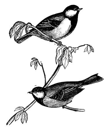 ornithology: Tit or Chickadees or Titmice, vintage engraved illustration. Natural History of Animals, 1880. Illustration