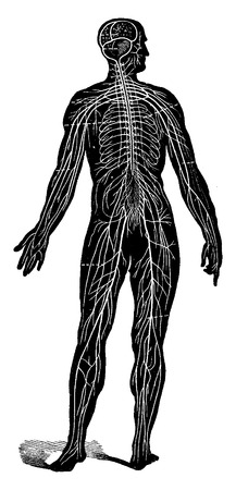 Sistema nervioso del hombre, visto como una cosecha ilustración grabada conjunto,. La Vie dans la nature, 1890. Ilustración de vector