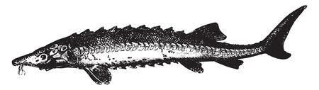 ichthyology: Sturgeon, vintage engraved illustration. La Vie dans la nature, 1890.