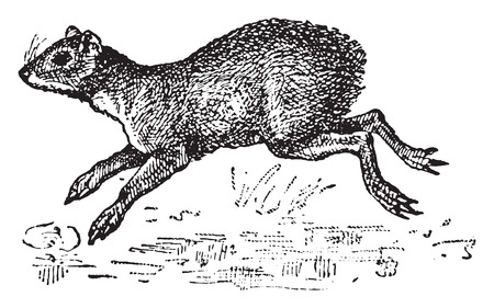 gnawer: Agouti, vintage engraved illustration. Dictionary of words and things - Larive and Fleury - 1895. Illustration