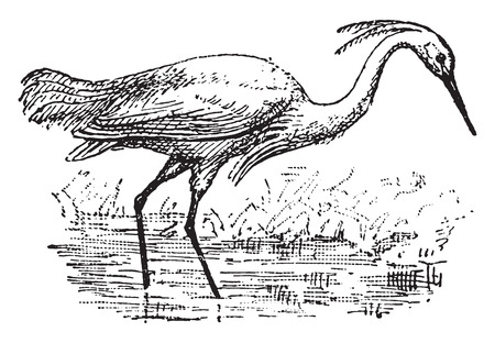 Egret, vintage engraved illustration. Dictionary of words and things - Larive and Fleury - 1895.