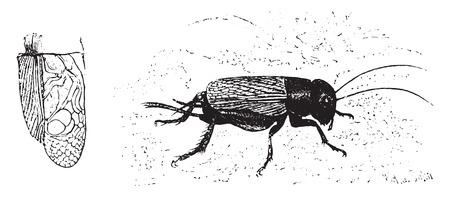 entomology: Domestic cricket, vintage engraved illustration. La Vie dans la nature, 1890. Illustration