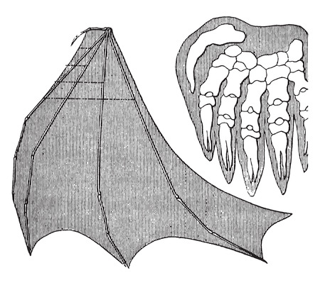 morphology: Organic unity and kinship of beings, Bat, vintage engraved illustration. Earth before man – 1886.
