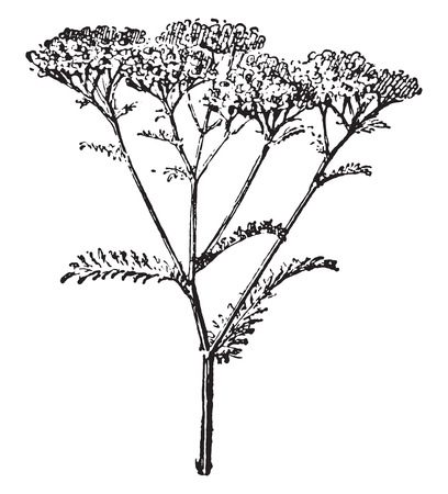 yarrow: Yarrow or Achillea millefolium, vintage engraved illustration. Dictionary of words and things - Larive and Fleury - 1895.