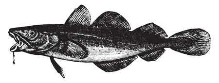 demersal: Cod, vintage engraved illustration. La Vie dans la nature, 1890.