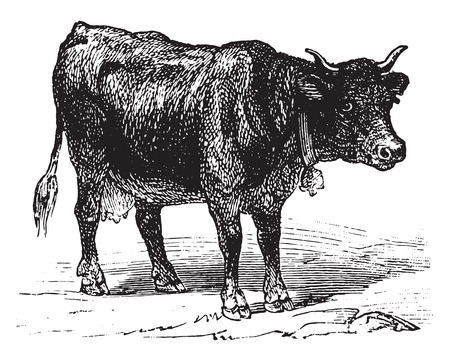 ruminant: Cow, vintage engraved illustration. La Vie dans la nature, 1890. Illustration
