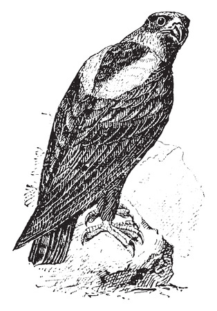 genera: Eagle, vintage engraved illustration. Dictionary of words and things - Larive and Fleury - 1895.
