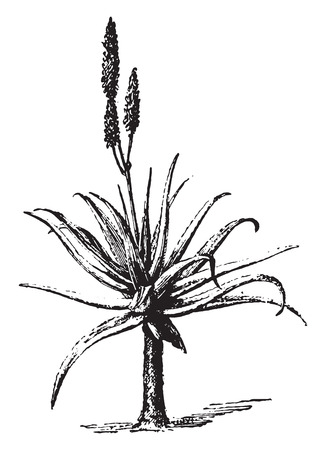 flowering aloe: Aloe, vintage engraved illustration. Dictionary of words and things - Larive and Fleury - 1895.
