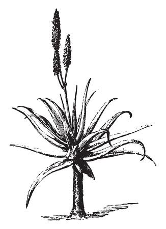 plants species: Aloe, vintage illustrazione inciso. Dizionario di parole e cose - Larive e Fleury - 1895.