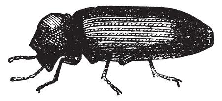 Anobium, vintage engraved illustration. La Vie dans la nature, 1890.