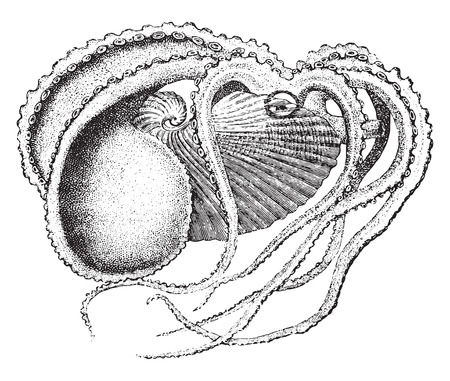 Argonaut, millésime gravé illustration. La Vie Dans la nature, 1890. Vecteurs