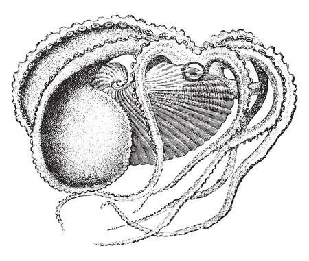 pulpo: Argonaut, vintage grabado ilustración. La Vie dans la nature, 1890.