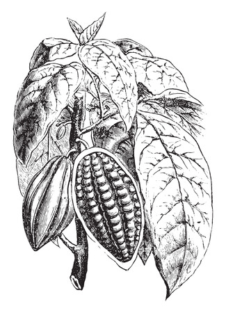 Bloeiende schieten en vruchtvorming van cacao, vintage gegraveerde illustratie. Industrial encyclopedie E.-O. Lami - 1875.