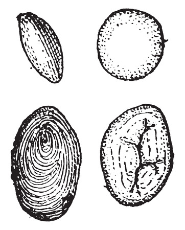 starch: Starch, vintage engraved illustration. Dictionary of words and things - Larive and Fleury - 1895.